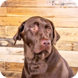Chip the Chocolate Lab